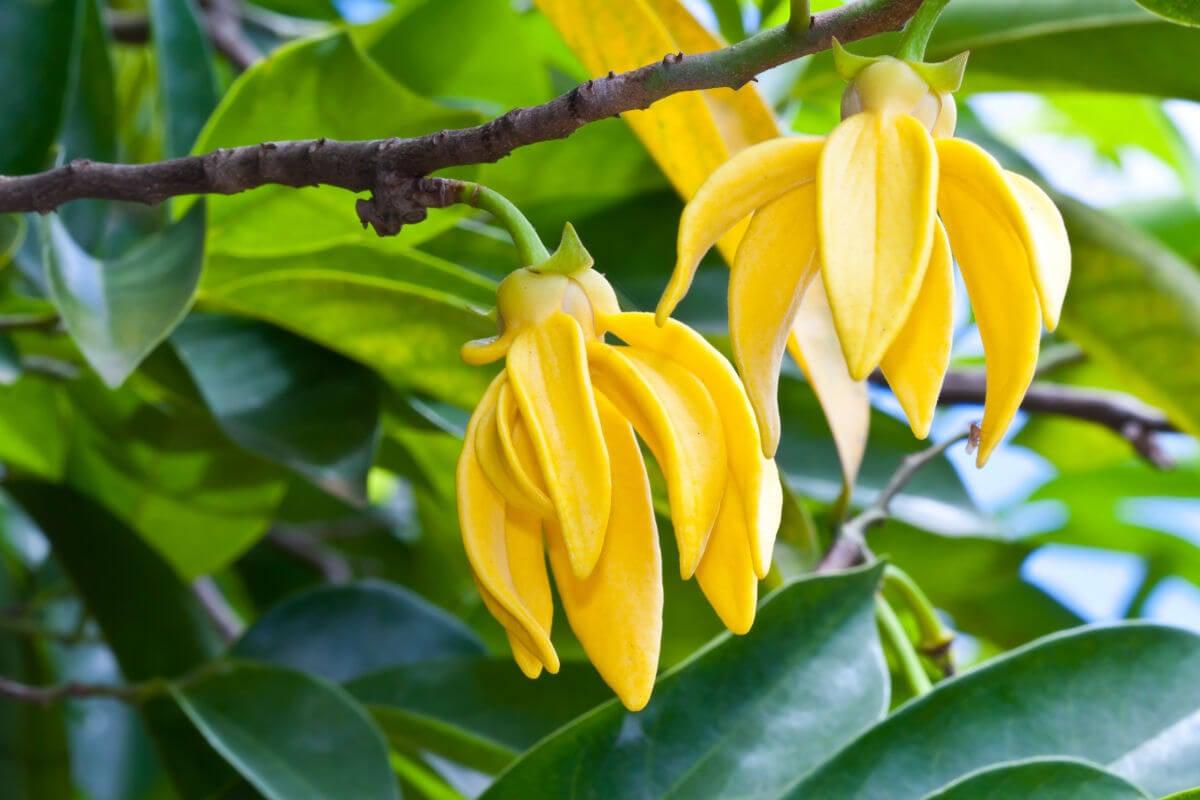 10 fantastici oli essenziali Ylang Ylang