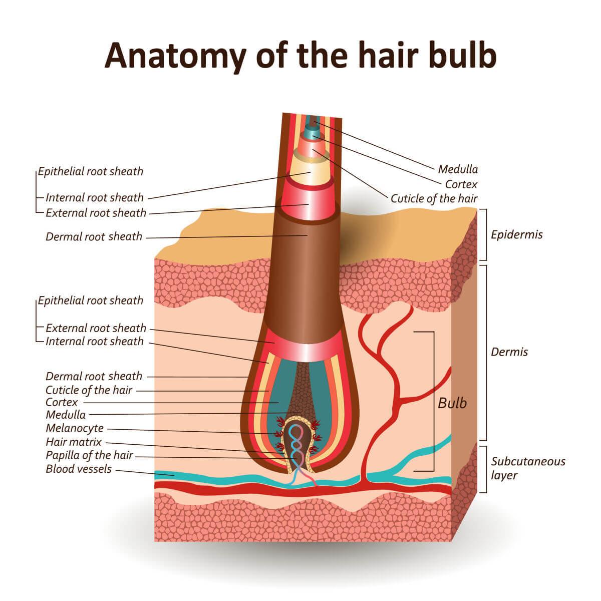 La struttura del capello